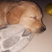 3 Aylik Golden Retriever ( Alanya )