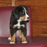 Bernese Mountain Dog Yavrumuz