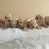 Golden  Retriever Yavrular